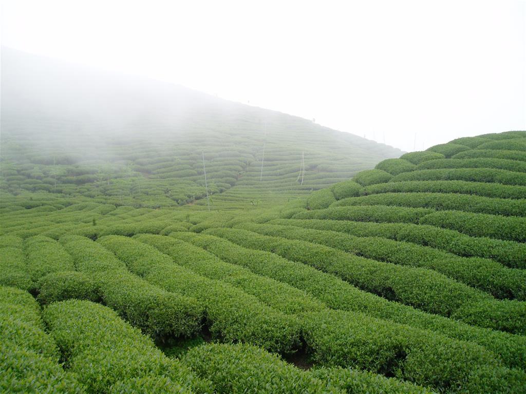 大崙山茶園